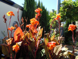 Group of Cannas